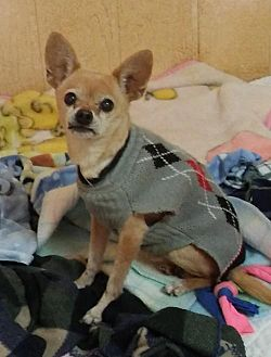 Chihuahua Mix Dog for adoption in Encino, California - Romeo