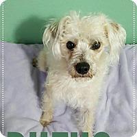 Adopt A Pet :: Rufus – 2 year Poodle Mix Male - Mesa, AZ