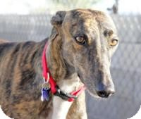 Greyhound Dog for adoption in Tucson, Arizona - Yvette