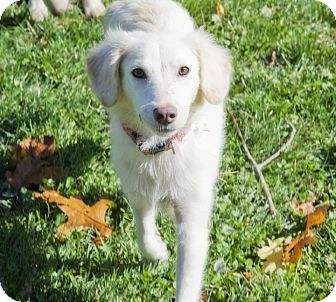 Labrador Retriever/Terrier (Unknown Type, Medium) Mix Puppy for adoption in Brooklyn, New York - Perfect Paparazzi