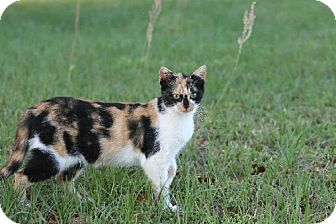 Calico Cat for adoption in Pensacola, Florida - Princess