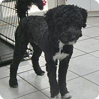 Adopt A Pet :: Boots - Rigaud, QC