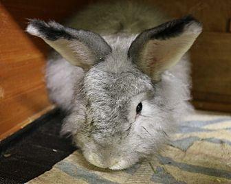 Angora, Satin for adoption in Seattle c/o Kingston 98346/ Washington State, Washington - Chino