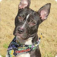 Adopt A Pet :: Ranger - Raleigh, NC