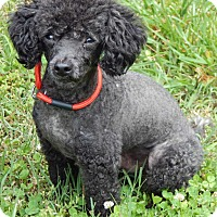 Adopt A Pet :: Midnight(8 lb) New Haircut! - SUSSEX, NJ