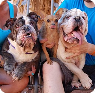 English Bulldog Mix Dog for adoption in Las Vegas, Nevada - Shrek