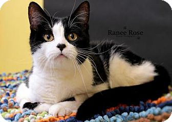 Domestic Shorthair Cat for adoption in Sterling Heights, Michigan - Adam