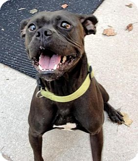 Boxer Mix Dog for adoption in Independence, Missouri - Magni *CL*