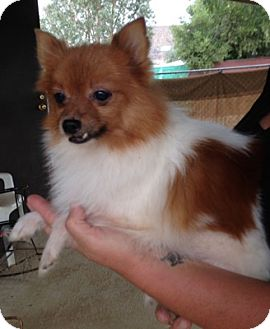 Pomeranian Mix Dog for adoption in Temecula, California - Peaches