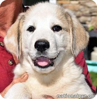 Great Pyrenees Mix Puppy for adoption in Beacon, New York - Jefferson in MD / pup - adopted