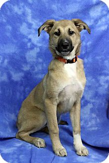 Shepherd (Unknown Type) Mix Puppy for adoption in Westminster, Colorado - ISADORA