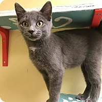 Adopt A Pet :: Figaro - Maryville, MO