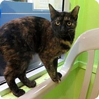 Domestic Shorthair Cat for adoption in Janesville, Wisconsin - Omayda