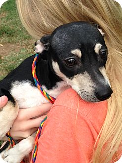 Chihuahua/Dachshund Mix Dog for adoption in Cleveland, Tennessee - Tank