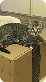 Domestic Shorthair Kitten for adoption in Fountain Hills, Arizona - TOFFEE