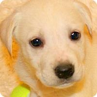 Adopt A Pet :: CHARLES(GORGEOUS LAB PUPPY!! - Wakefield, RI