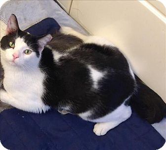 Domestic Shorthair Cat for adoption in Sheboygan, Wisconsin - Batman