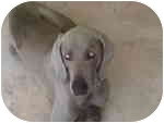 Weimaraner Dog for adoption in Eustis, Florida - Romeo  **ADOPTED**