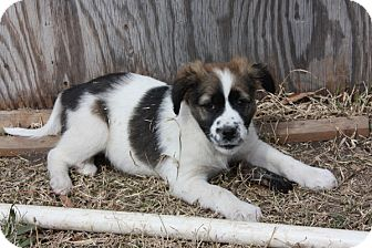 Shepherd (Unknown Type) Mix Puppy for adoption in kennebunkport, Maine - Tucker - PENDING, in Maine
