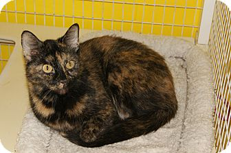 Calico Cat for adoption in Memphis, Tennessee - Annabelle
