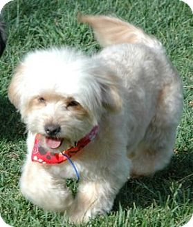 Shih Tzu/Poodle (Toy or Tea Cup) Mix Dog for adoption in Mission Viejo, California - JEFFREY
