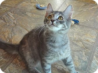 Domestic Mediumhair Kitten for adoption in Escondido, California - Deede