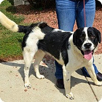 Adopt A Pet :: Thor - Toledo, OH