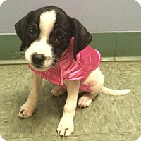 Adopt A Pet :: Polly - North Olmsted, OH
