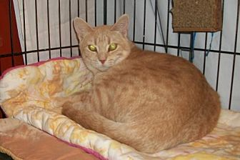 Domestic Shorthair Cat for adoption in Lacon, Illinois - Sunshine