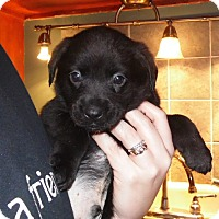 Adopt A Pet :: 3 lab mixed puppies - mooresville, IN