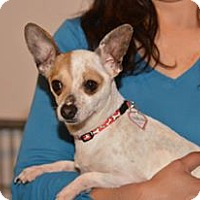 Adopt A Pet :: Patches - Vacaville, CA