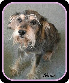 Schnauzer (Miniature) Mix Dog for adoption in Tombstone, Arizona - Sheba