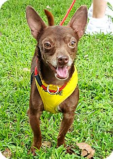Chihuahua Mix Dog for adoption in Houston, Texas - Coco