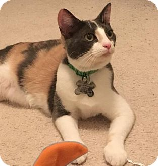 Domestic Shorthair Kitten for adoption in Kennesaw, Georgia - Adeline
