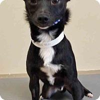 Adopt A Pet :: Caleb - Oswego, IL