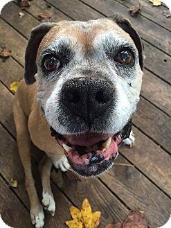 Boxer Dog for adoption in Richmond, Virginia - Camden