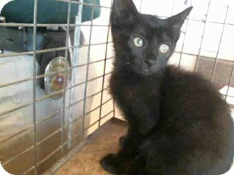 Domestic Mediumhair Kitten for adoption in Plano, Texas - SPIDER