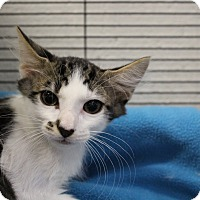 Adopt A Pet :: Nigel - Sarasota, FL