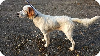 English Setter Dog for adoption in Plainfield, Illinois - Parker