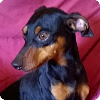 Miniature Pinscher/Manchester Terrier Mix Dog for adoption in Campbell, California - Rocky