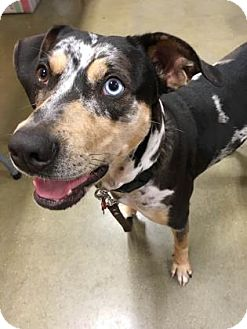 Catahoula Leopard Dog Dog for adoption in Belle Chasse, Louisiana - Jolie