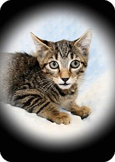 Domestic Shorthair Kitten for adoption in Bradenton, Florida - Chili