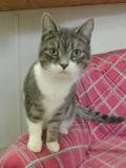 Domestic Shorthair Cat for adoption in Stuart, Virginia - Nina