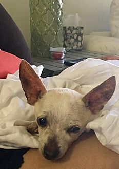 Chihuahua Dog for adoption in West Palm Beach, Florida - Chino