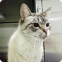 Siamese Cat for adoption in Elyria, Ohio - Whitt