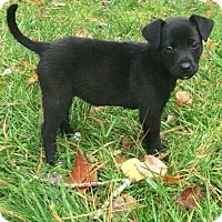 Labrador Retriever Mix Puppy for adoption in CUMMING, Georgia - Smokey