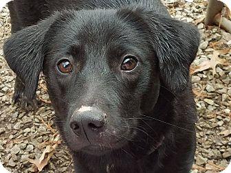 Labrador Retriever Mix Dog for adoption in chicago, Illinois - Hannah