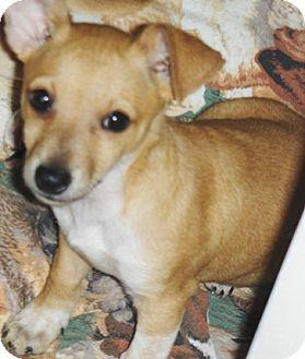 Chihuahua/Dachshund Mix Puppy for adoption in Phoenix, Arizona - Sahuaro