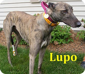 Greyhound Dog for adoption in Fremont, Ohio - Lupo