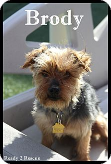 Yorkie, Yorkshire Terrier Dog for adoption in Rockwall, Texas - Brody